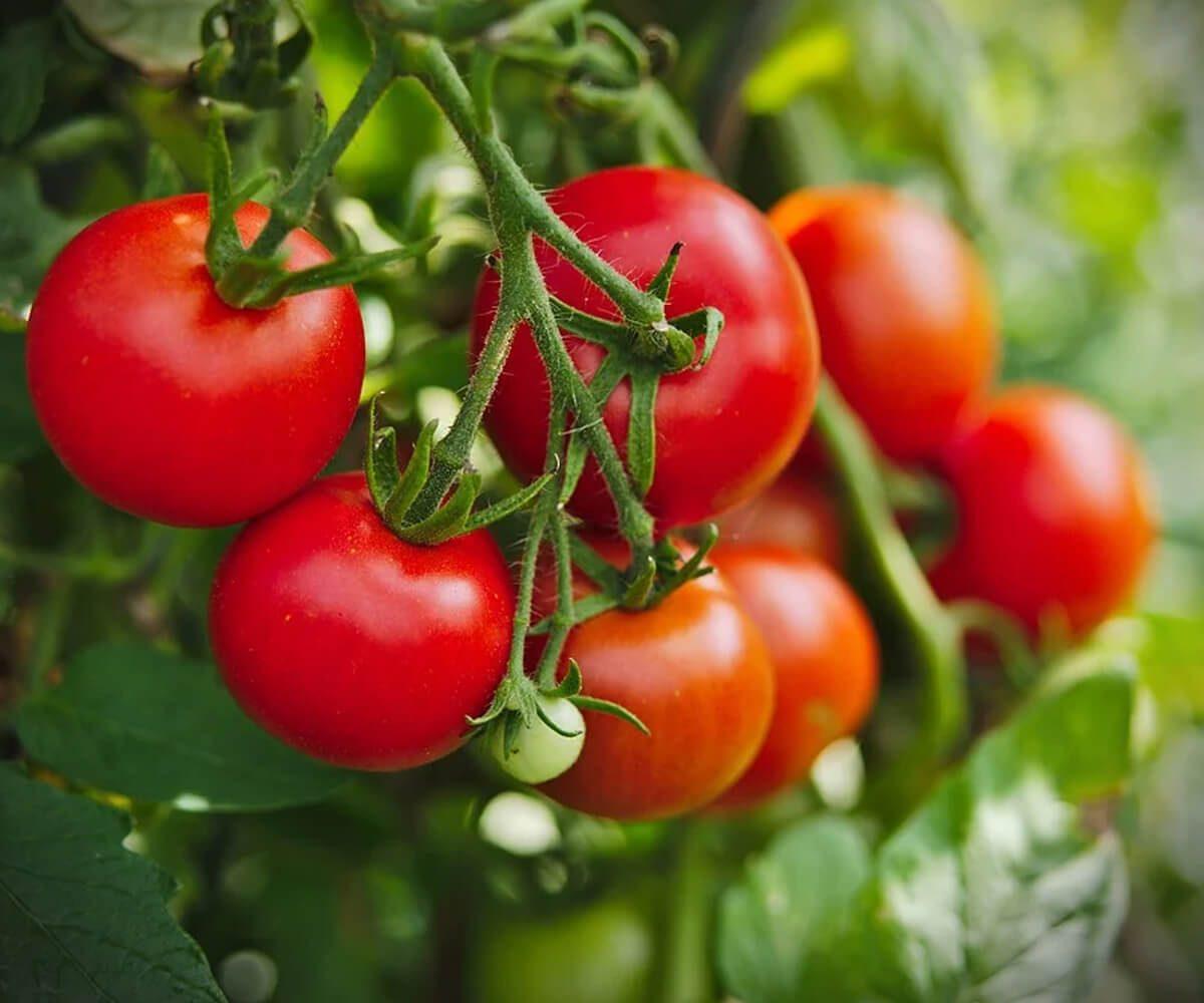 Asterindo Kompitor 200SL tanaman tomat